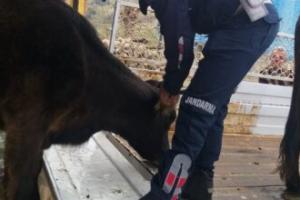 Kaybolan hayvanları 35 kilometrede ötede jandarma bulundu