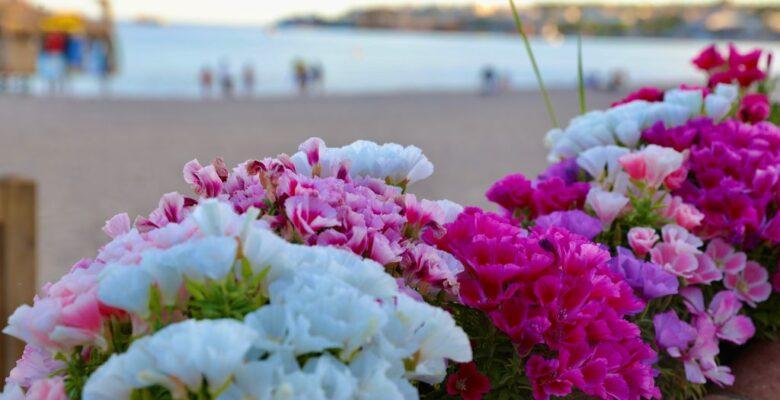 Didim Godetya çiçekleri ile güzelleşiyor
