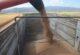 Buğdayda hasat dönemi başladı