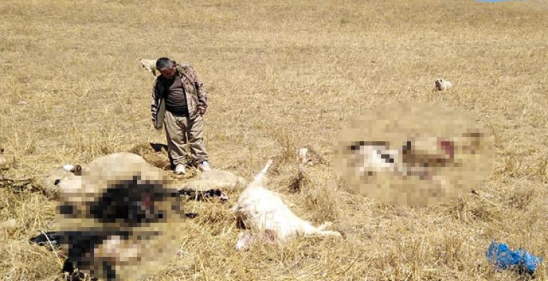 Kurtar sürüye saldırdı 30 koyun telef oldu