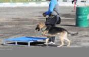 3 ayaklı köpek engelleri tek tek aştı