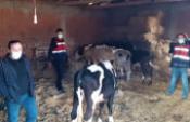 Çaldıkları inekleri kesmek üzereyken yakalandılar