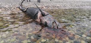 Ölüsü sahilde bulundu, 5 metre uzunluğunda