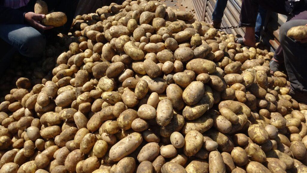 'Beyaz altın' yerine ektikleri patates ile yüzleri güldü