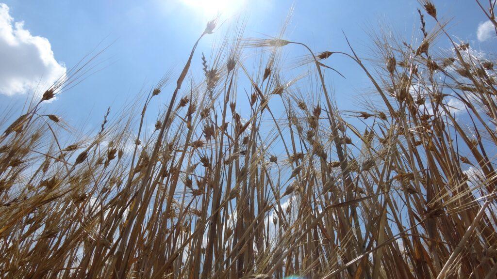 Buğday hasadı besiciyi sevindirdi