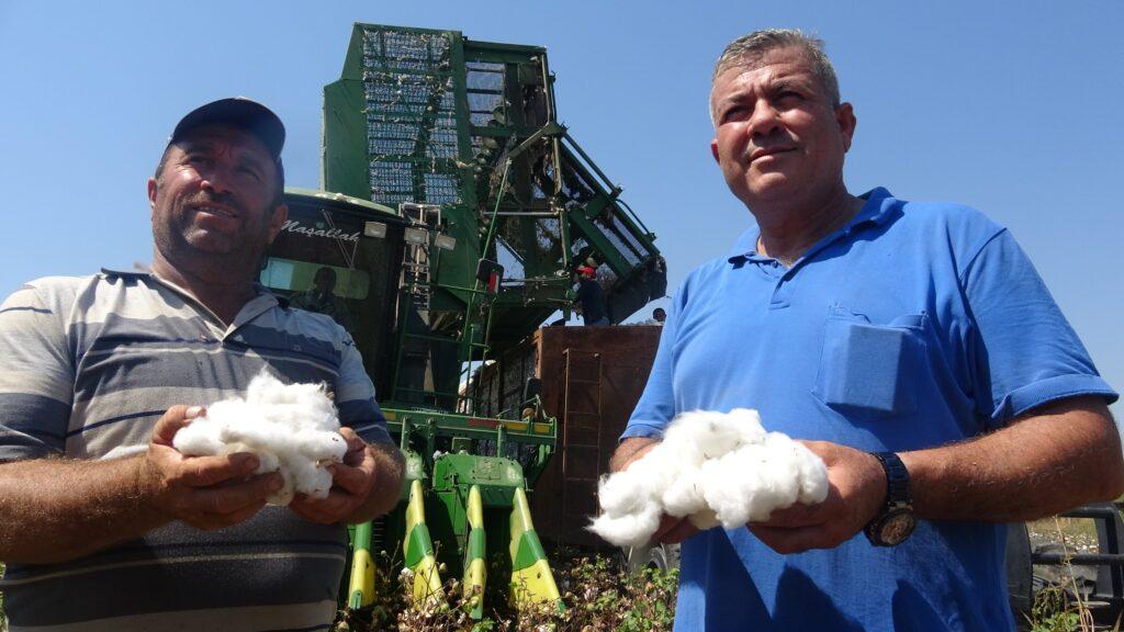 Erkenci pamuk hasad edildi, kilosu 5 liradan satıldı