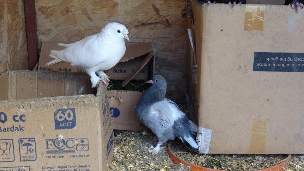 Yumurtadan tek kanatlı güvercin çıktı