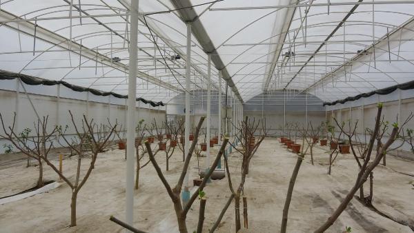 Serada incir dönemi hedef üretimi 12 aya yaymak